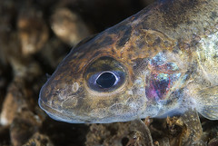 Pos / Ruffe (Gymnocephalus cernuus) (Arne Kuilman) Tags: fish macro closeup night nacht diving 60mm vis pos freshwater nightdive spiegelplas nachtduik ruffe 14xteleconverter gymnocephaluscernua gymnocephaluscernuus