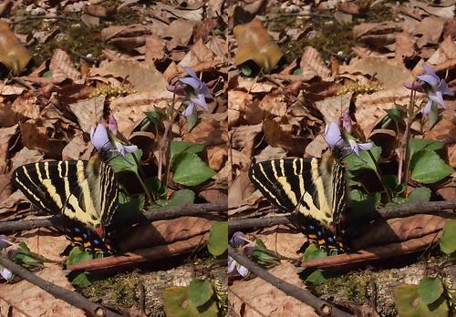 Luehdorfia japonica, stereo parallel view