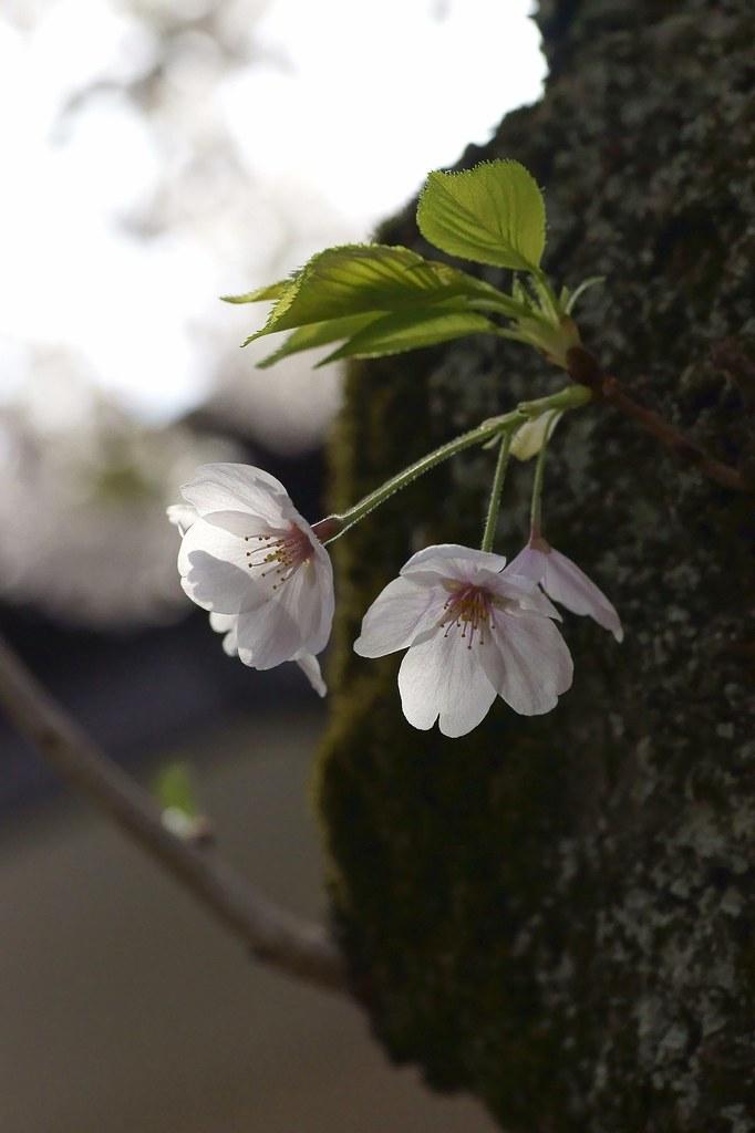 Cherry Blossom 101