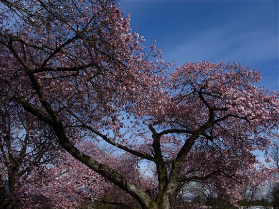 queen elizabeth park pink 004