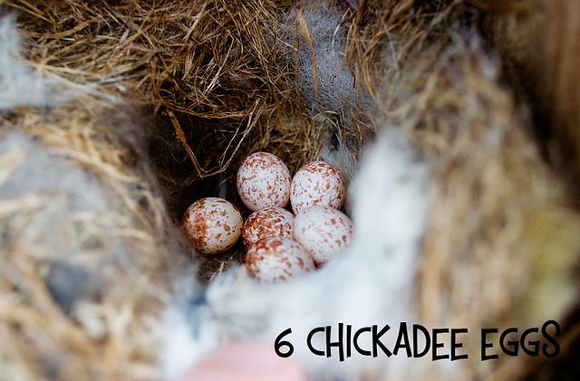 6 Chickadee Eggs