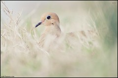 Mourning Dove (www.matthansenphotography.com) Tags: bird eye nature grass animal soft quiet head wildlife camo environment mourningdove delicate hiding wispy surroundings avian zenaidamacroura layingdown catchlight columbiformes blendin bedded matthansen