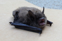 House Guest (Funkomaticphototron) Tags: fur mammal wings critter teeth small bat ears angry claws unwantedhouseguest coryfunk