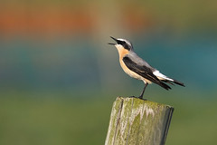 Wheatear (Oenanthe oenanthe ) (Ronan.McLaughlin) Tags: ocean blue ireland sea irish white bird beach nature water birds coast spring nikon marine wildlife atlantic shore maritime migration peninsula donegal malin malinhead inishowen wheatear oenantheoenanthe northernwheatear d90 irishwildlife sigma150500 ronanmclaughlin