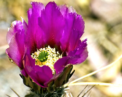 Desert Bloom (twbphotos) Tags: cactus southwest flower bloom desertflower cactusbloom terrybell masterphotos twbphotos