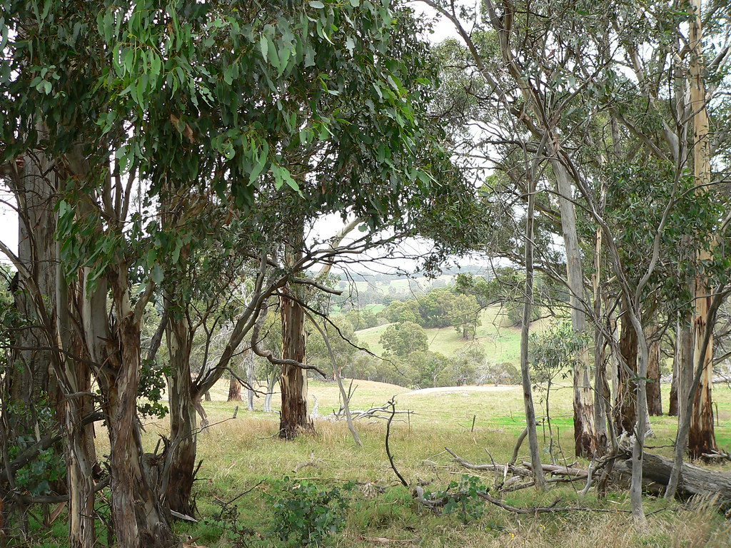 Gum trees - photograph