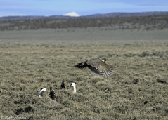 Greater sage-grouse 3323 (Tatiana Gettelman) Tags: pictures bird nature birds animal animals outdoors flying photo wings natural image display photos pics wildlife nevada flight picture grouse pic images sage photographs photograph greater usgs avian lek popping sagegrouse werc greatersagegrouse centrocercusurophasianus leking centrocercus urophasianus