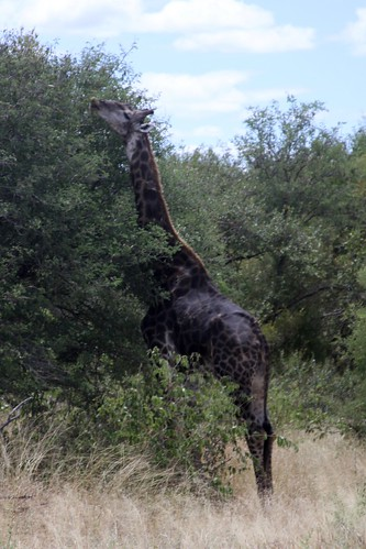 Giraffe with dark markings, from their diet apparently