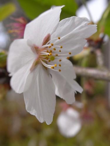春の花々@明日香村-02