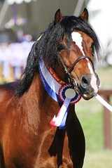 IMG_179 (Tried n True) Tags: show b horse mare carriage d c year australian australia led riding pony nsw april hunter ponies welsh harness cob buggy section colt stallion saddle equine filly turnout sulky gelding 2011 a partbred siec apsb