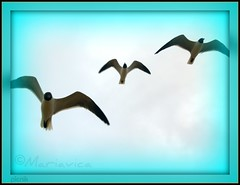 © Seagulls Trio!! (Mariavica17-©) Tags: seagulls birds photo foto gulls pic aves tres trio gaviotas picnik onetwothree volandoflying tresgaviotas mariavica