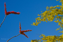 Ocotillo and Palo Verde Blooms Waving in the Wind (Striking Photography by Bo Insogna) Tags: flowers blue red arizona sky art nature phoenix print photography landscapes photo gallery forsale desert image picture wallart stockphotos dumaguete prints scottsdale blooms paloverde ocotillo photographyprints yellowfine boinsogna jamesinsogna insognagallery