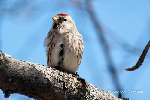 Common Redpoll (19 of 22).jpg