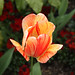 striped tulip2