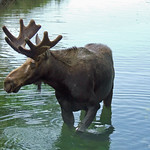 Stilts, the hand raised moose at Bear World, ID 1 thumbnail