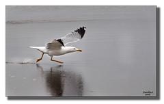 Levantando el vuelo (Lomillos) Tags: beach canon fly agua playa pico ala gaviota pata vuelo 50d lomillos