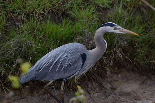 Dike Walk :: Great Blue Heron