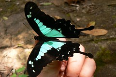 Papilio phorcas - Mt. Inago, Mozambique