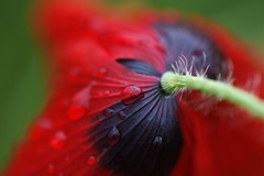 here today..... (jenny downing) Tags: red hairy distortion blur france flower macro nature wet lines rain closeup droplets petals drops blurry stem weed fuzzy bokeh blurred poppy refraction droplet veins colourful delicate curved waterdrops wildflower waterdroplets extravagance transient infrance gelincik littlebride heretoday jennypics brightlycoloured takeninfrance jennydowning gotredinit soocapartfromacrop withthankstodik photobyjennydowning
