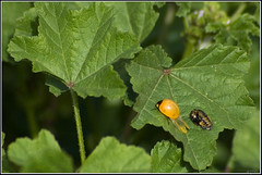 Newly emerged Seven-spot ladybird -      (Eran Finkle) Tags: macro closeup ladybird ladybug ladybeetle coccinellidae coccinellaseptempunctata newlyemerged