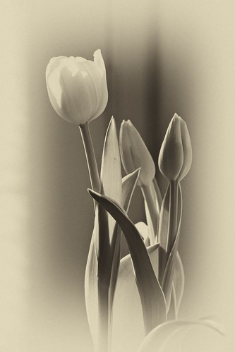 Tulips by laguglio