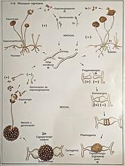 Rhizopus ciclo de vida (Ricardo Rico) Tags: rhizopus zygomycota