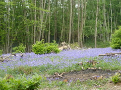 """Coppice Regrowth & Bluebells • <a style=""""font-size:0.8em;"""" href=""""http://www.flickr.com/photos/61957374@N08/5679680088/"""" target=""""_blank"""">View on Flickr</a>"""