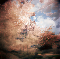 the frenzy of the sakura (manyfires) Tags: pink trees film oregon portland holga spring doubleexposure blossoms toycamera bloom sakura pdx cherrytrees waterfrontpark