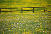 Buttercup fence #2