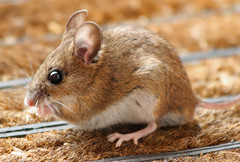 Longtailed Fieldmouse (Mukumbura) Tags: food animal rodent creature doormat fieldmouse woodmouse longtailedfieldmouse