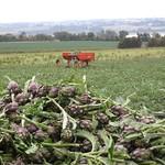 Artichaut violet en récolte à Paimpol