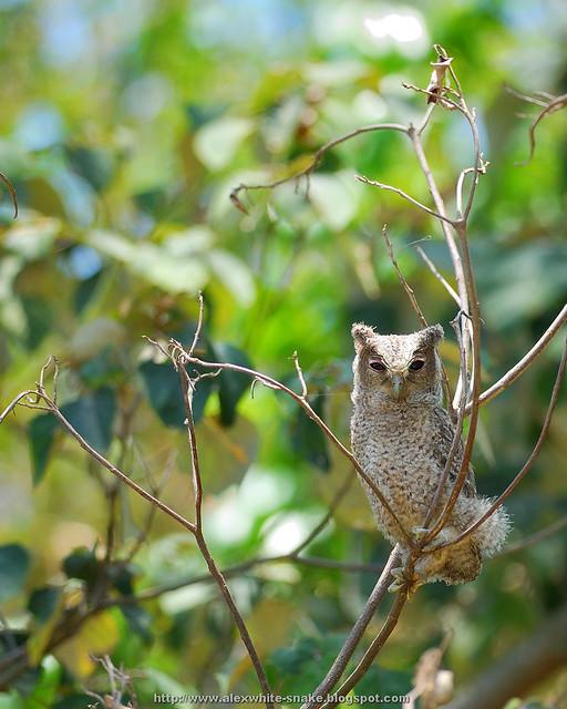 領角鴞寶寶 6