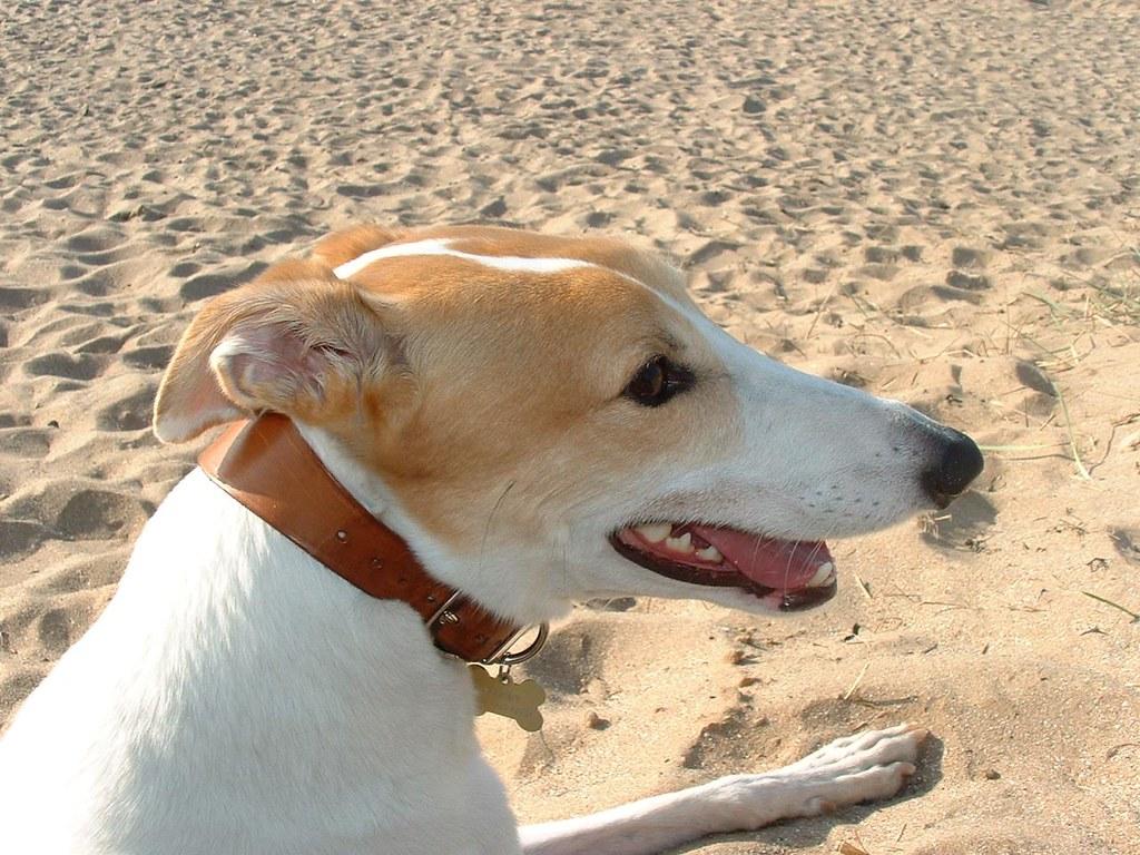 Scooby on Longniddry Beach