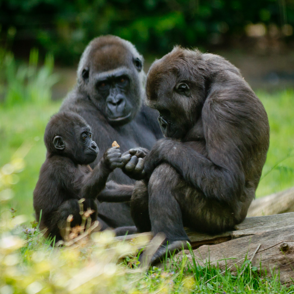Gorilla family moment by Pascal, on Flickr