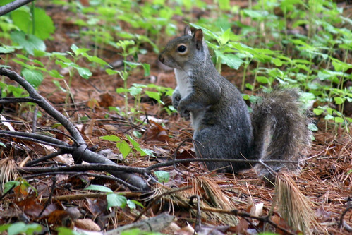 squirrel 072
