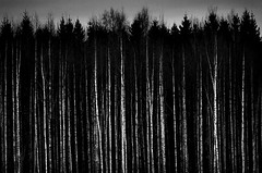 Dark woods (Anders | Bergstrm) Tags: black forest dark woods mood darkness telephoto horror tele birch rebro blackwhitephotos canon7d andersbergstrm anbeone ef28300mmf3556lusm