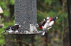 Cleared for takeoff . . . (Dr. Farnsworth) Tags: male bird mi spring takeoff fernridge rosebreastedgrosbeak may2011