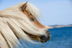 close your eyes and feel the breeze (Anders ) Tags: horse west beach coast eyes nikon close sweden sverige breeze f28 skagerrak 80200mm hst vstkusten vstragtaland fjllbacka 80200mmf28 d700 vedd