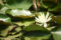 Water lily (ddsnet) Tags: plant flower waterlily sony hsinchu taiwan aquatic   aquaticplants 900        sinpu hsinpu  lily water  tetragona water    900 lily   nymphaeatetragona    nymphaea plants  aquatic nymphaea tetragona  900 plantsnymphaea tetragona