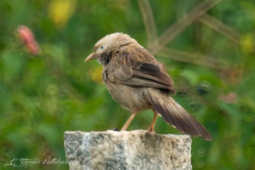 White-headed (yellow billed) Babbler