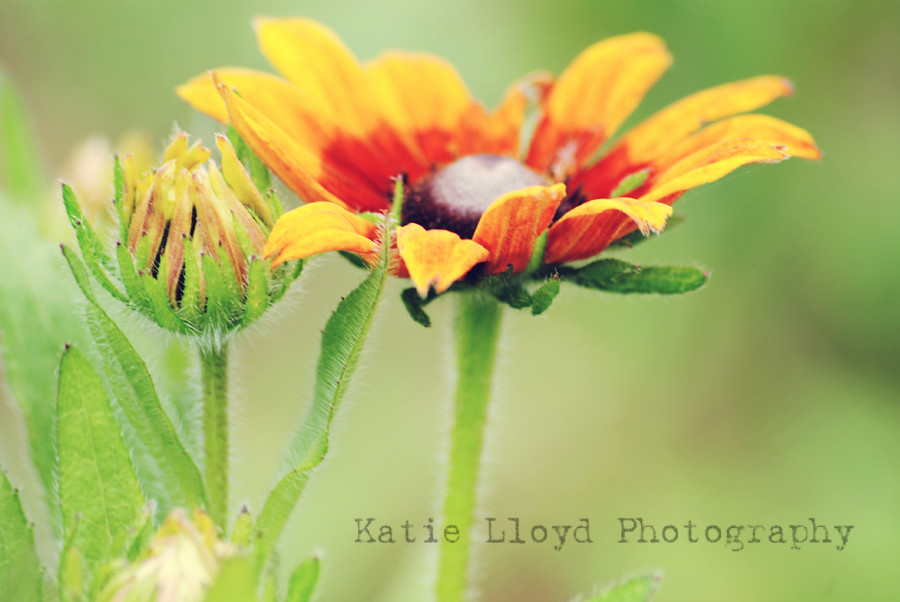 coneflower---orange