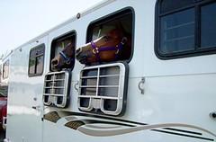 horse trailer, horse trailers, gooseneck trailer, tag along trailer, bumper pull trailer