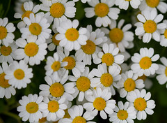 A few Feverfew flowers. Phew! It's Friday! (Mukumbura) Tags: flowers summer england white flower green nature leaves yellow daisies garden petals bush pretty somerset few daisy citrus blooms mass friday chrysanthemum herb phew medicinal scent feverfew chrysanthemumparthenium summertimeuk