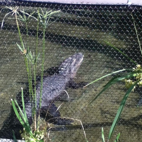 Alligator at Zoo by autismfamily