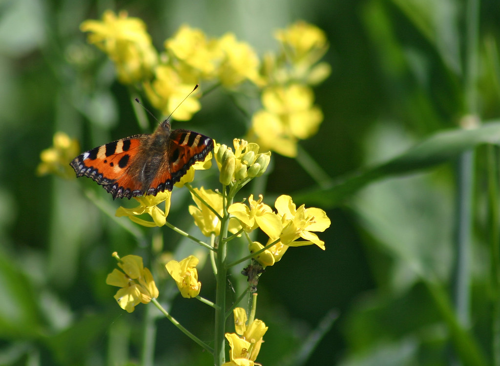 Butterfly on canola