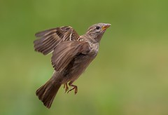 C69I4243 (sqrphoto) Tags: wild brown bird nature animal canon wings flight feathers young sparrow common juvenile sqrphoto