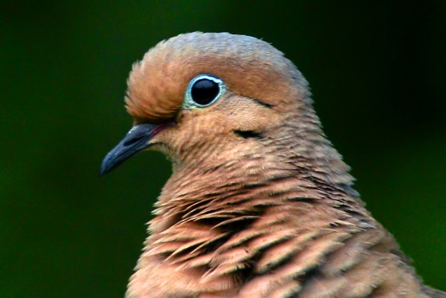 mourning dove closeup