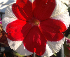 red and white petunias 2 (triciawd) Tags: roses clematis lavender fuschia hydrangea honeysuckle petunia peonies astilbeflowers galiardia heucheraflowers
