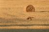 Le chasseur - The hunter (Sosodu16 (200000+ views)) Tags: red game animal nikon fox hunt chasse renard d90 gibier goupil specanimal seenonflickr nikonflickraward nikonflickrawardgold nikonflickrawardplatinum bibblepro522