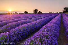 Sunrise over lavender field (LongLensPhotography.co.uk - Daugirdas Tomas Racys) Tags: morning trees light summer england west flower colour field yellow contrast sunrise landscape golden early soap scenery view bright beds country nursery great scenic lavender warmth july somerset farmland smell essential oil land bloom production rays footpath goldenhour 5am aroma sunstar frome shaddows glourious faulkland